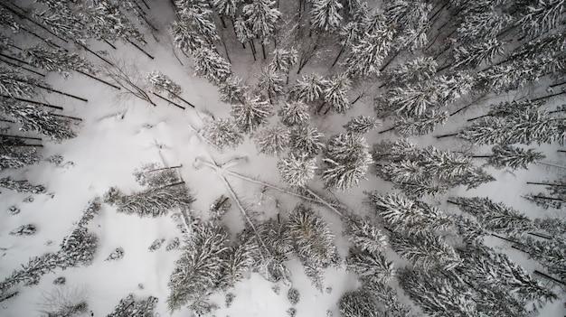 Widok z lotu ptaka pięknych wysokich śnieżnych jedlinowych drzew