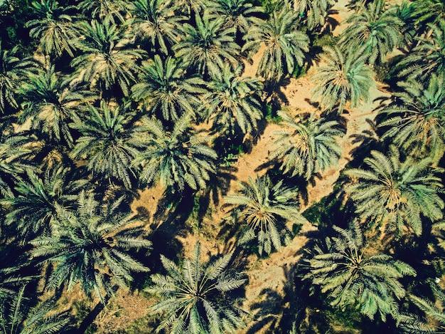 Widok z lotu ptaka plantacji palm w piękny słoneczny dzień. zielono-żółty kontrast palm i piasku wystrzelonego z powietrza. czas letni na bliskim wschodzie. sadzenie w gorących warunkach klimatycznych. letnia tapeta.