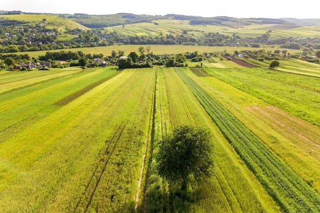 Widok z lotu ptaka pojedynczego drzewa rosnąć osamotniony na zielonych polach uprawnych na wiosnę ze świeżą roślinnością po sezonie siewowym w ciepły słoneczny dzień.
