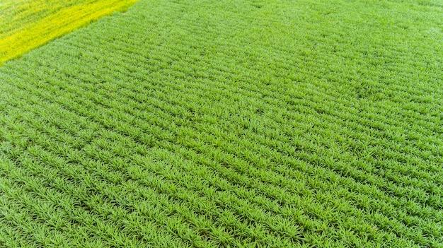 Widok z lotu ptaka pola trzciny cukrowej