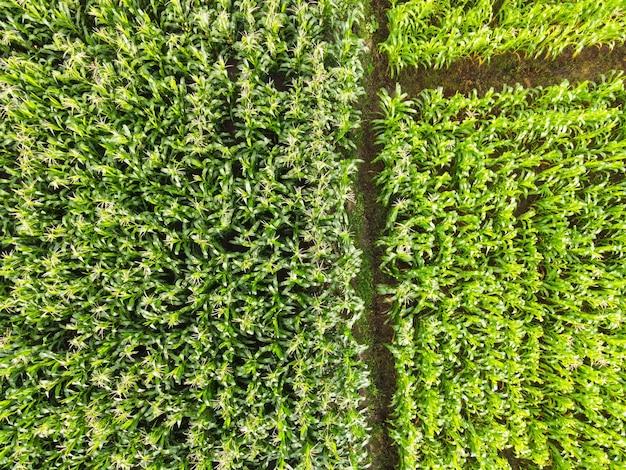 Widok z lotu ptaka pole natura gospodarstwo rolne tło, widok z góry pole kukurydzy z góry z drogowymi działkami rolnymi o różnych uprawach kukurydzy w zielonych kolorach