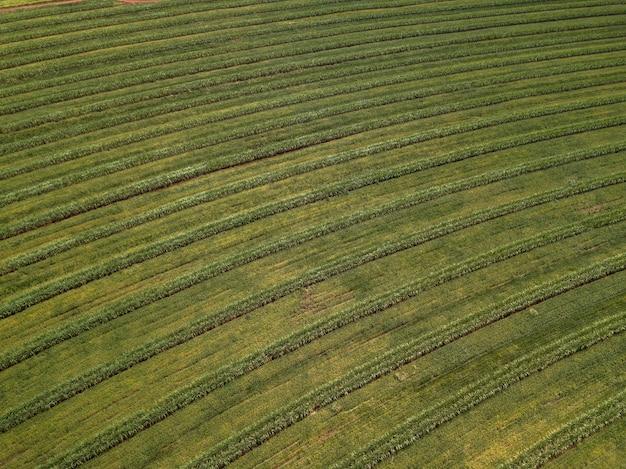 Widok z lotu ptaka pole trzciny cukrowej w brazylii.