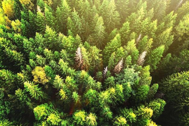 Widok z lotu ptaka z góry na jasnozielony świerk i żółte jesienne drzewa w jesiennym lesie.