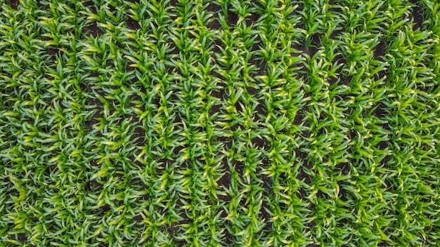 Widok z lotu ptaka z góry pola kukurydzy