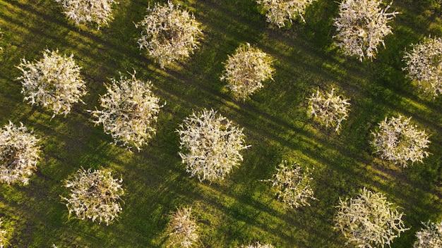 Widok z lotu ptaka z latającego drona kwitnących jabłoni w wiosennym sadzie