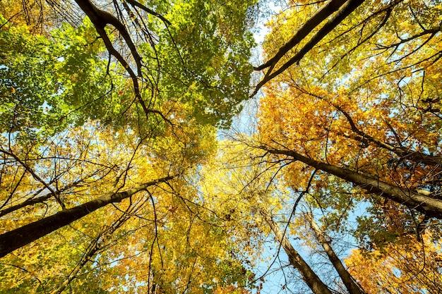 Widok z perspektywy jesiennego lasu z jasnymi pomarańczowymi i żółtymi liśćmi. gęste drewno z grubymi daszkami przy słonecznej jesiennej pogodzie.