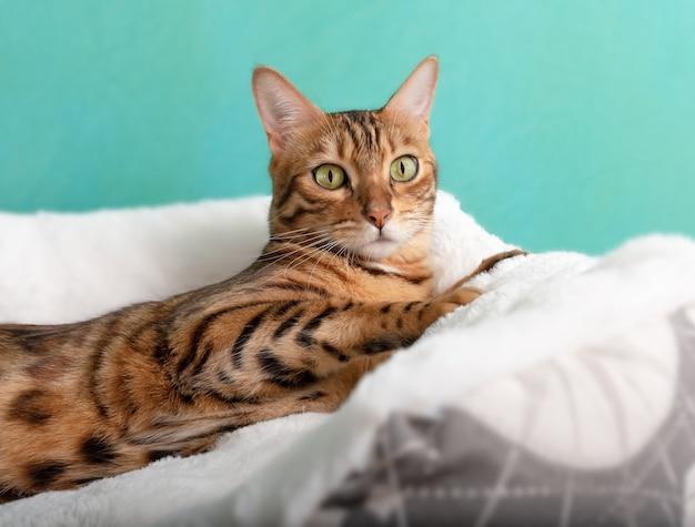Widok z przodu ładny piękny kot bengalski leżący na łóżku białego kota
