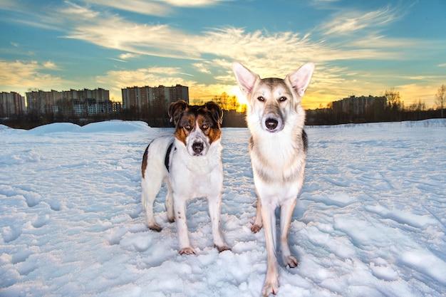 Widok z przodu na dwa psy rasy mieszanej stojące na śniegu i patrzące w kamerę w parku zimowym