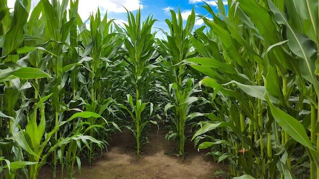 Widok z przodu pola kukurydzy, na którym rośliny osiągnęły maksymalną wysokość