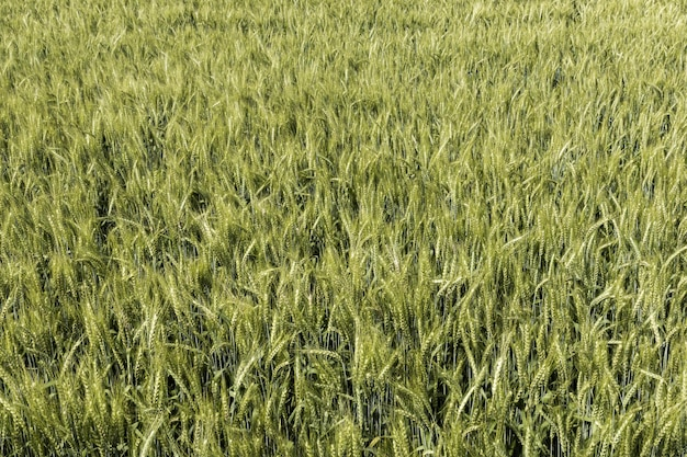 Widok z przodu pola pszenicy