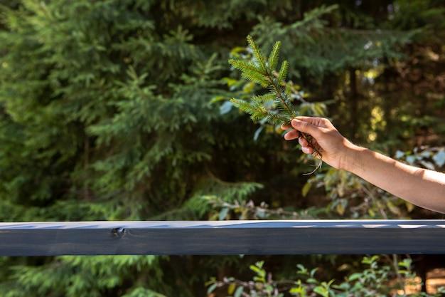 Widok z przodu ręki trzymającej gałąź jodły