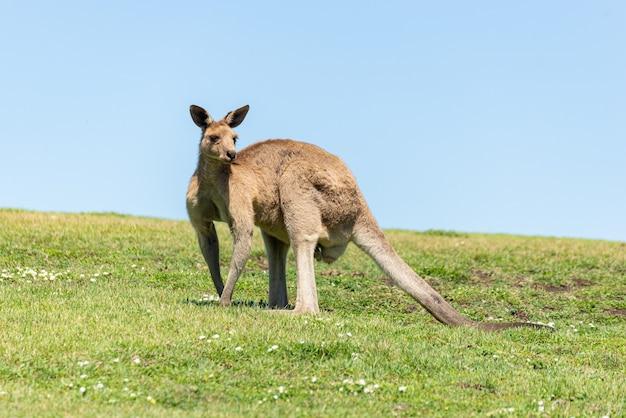 Widok z przodu szary kangur na zielonej łące odrobina czystego nieba. koncepcja natury. koncepcja dzikiej przyrody