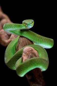 Widok z przodu zielonego węża albolaris z czarnym tłem