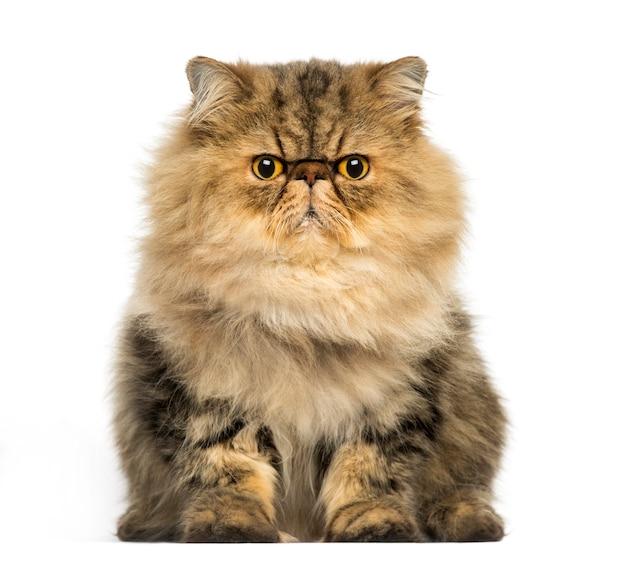 Widok z przodu zrzędliwego kota perskiego, patrząc na kamery na białym tle