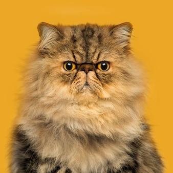 Widok z przodu zrzędliwy kot perski siedzący, patrząc w kamerę na pomarańczowo
