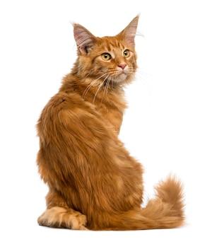 Widok z tyłu kociaka maine coon siedzi patrząc na białym tle