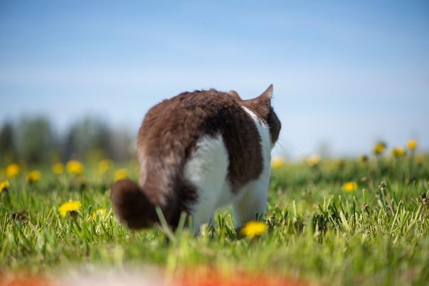 Widok z tyłu kot brytyjski krótkowłosy w letnim ogrodzie