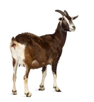 Widok z tyłu kozy toggenburg, patrząc od spacji