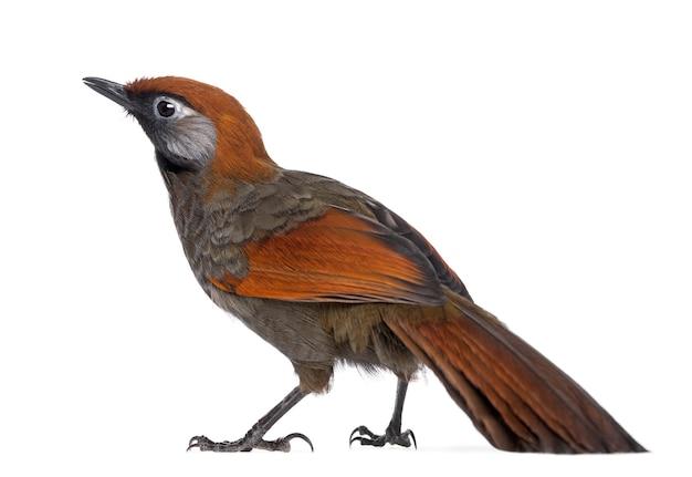 Widok z tyłu na red-tailed laughingthrush - garrulax milnei, na białym tle