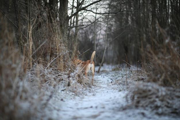Widok z tyłu na szczęśliwy rudowłosy pies kundel wąchający ziemię i na zimowej łące.