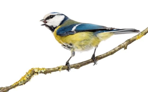 Widok z tyłu tweeting modraszka siedząca na gałęzi, cyanistes caeruleus, na białym tle