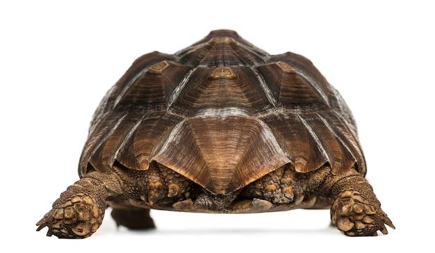 Widok z tyłu z afrykańskiego żółwia pustynnego stojącego, geochelone sulcata, na białym tle