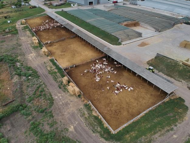Widok zagrody pełnej biało-brązowego bydła