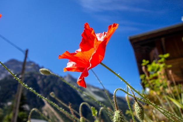 Widok zbliżenie kwiat maku w polu parku narodowego vanoise, alpy francuskie