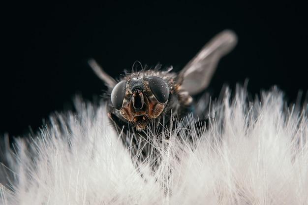Widok zbliżenie muchy siedzącej na mniszku lekarskim na białym tle