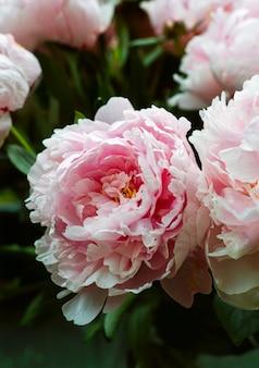 Widok zbliżenie różowe piwonie w bukiet.