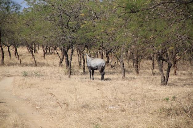 Widok zwierzęcia gnus w zoo gir, gujarat, indie