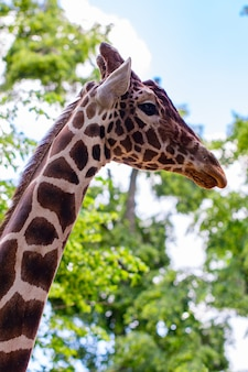 Widok żyrafa z boku na tle błękitnego nieba i zielonych drzew.