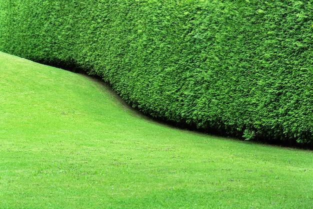 Widok żywopłotu w postaci falistej ciągłej ściany tui i gładkiego zielonego trawnika. formowanie się krzaka podczas wzrostu rośliny. koncepcja, pielęgnacja roślin, przycinanie i cięcie