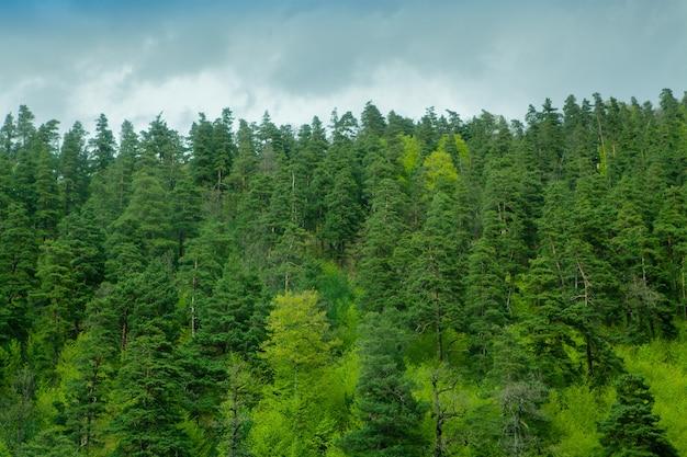 Wieczorem zielony las wznosi się pod górę
