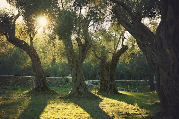 Wieczorne słońce oświetla stary gaj oliwny z drzewami.