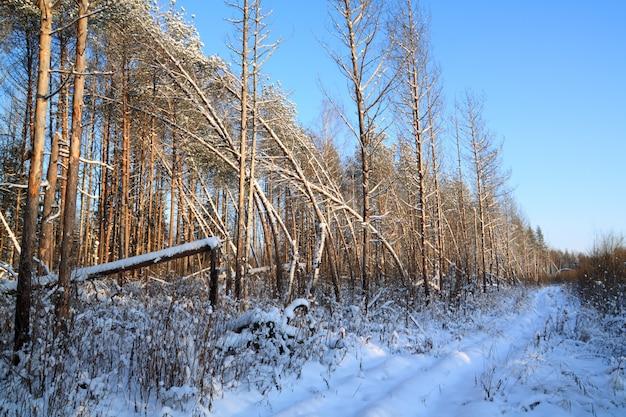 Wiejska droga w lesie sosnowym