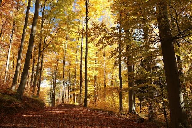 Wiejska droga wśród dębów w słoneczny jesienny poranek