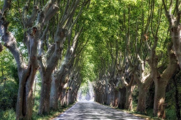 Wiejska droga wśród ogromnych, łukowatych drzew jaworowych w prowansji we francji