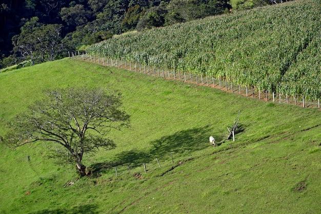 Wiejski krajobraz z bydłem, trawą, plantacją kukurydzy i drzewami. minas gerasi, brazylia