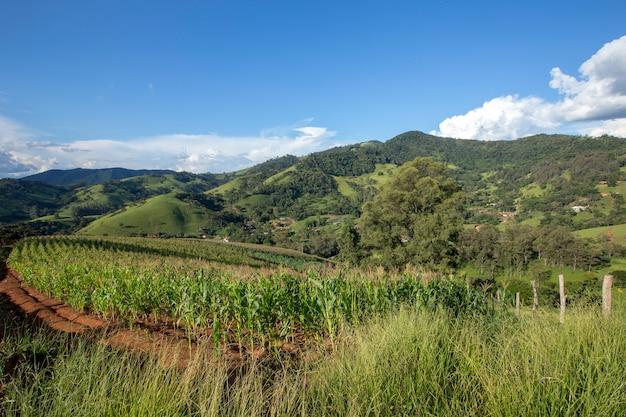 Wiejski krajobraz z plantacją kukurydzy i wzgórzem. minas gerais, brazylia