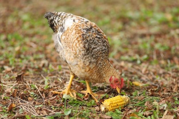 Wiejski kurczak zjada głowę kukurydzy