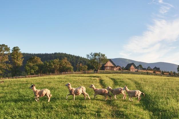 Wiejskie domy na wzgórzach z zielonymi łąkami w letni dzień. stado owiec chodzących na łące