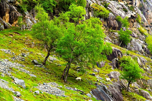 Wiejskie kozy pasące się na skalistym wzgórzu wśród drzew