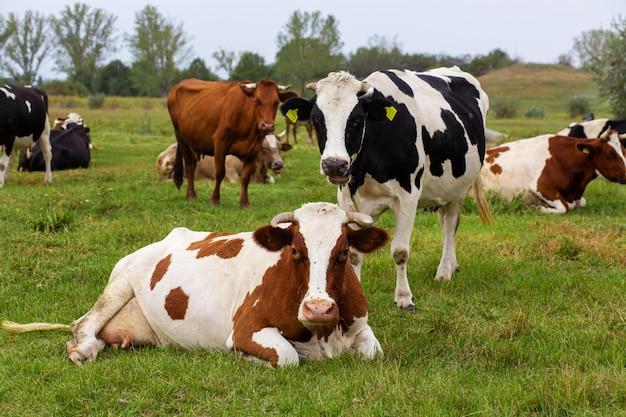 Wiejskie krowy pasą się na zielonej łące. wiejskie życie. zwierząt. kraj rolniczy