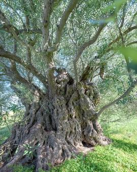 Wieki stare drzewo oliwne w lefkara na cyprze. zbliżenie pnia drzewa