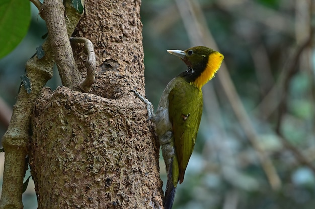 Większy kolor żółty siedzi na kłodzie drzewa