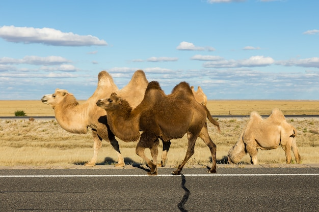 Wielbłąd dwugarbny, mongolia wewnętrzna