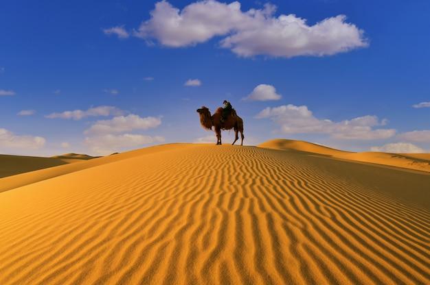 Wielbłąd dwugarbny na pustyni gobi w mongolii.
