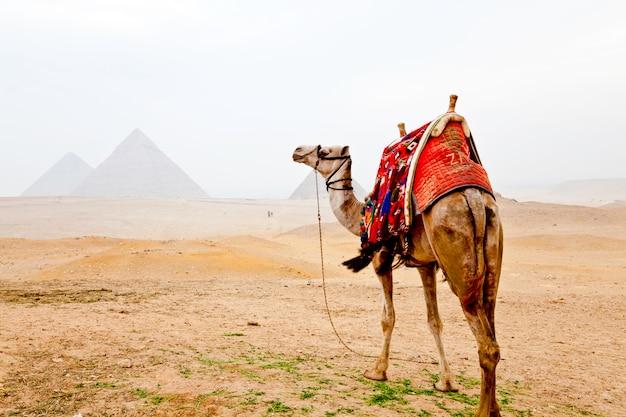 Wielbłąd i piramidy w gizie w egipcie
