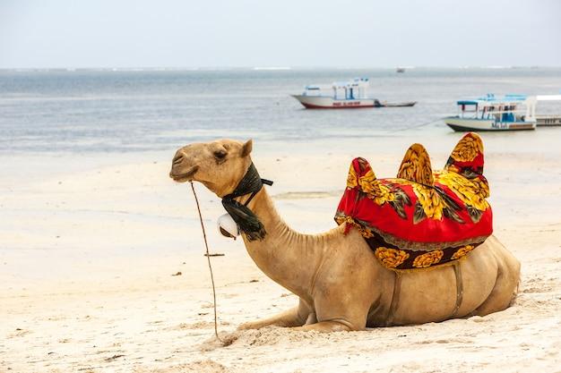 Wielbłąd leżący na piasku na tle oceanu i łodzi